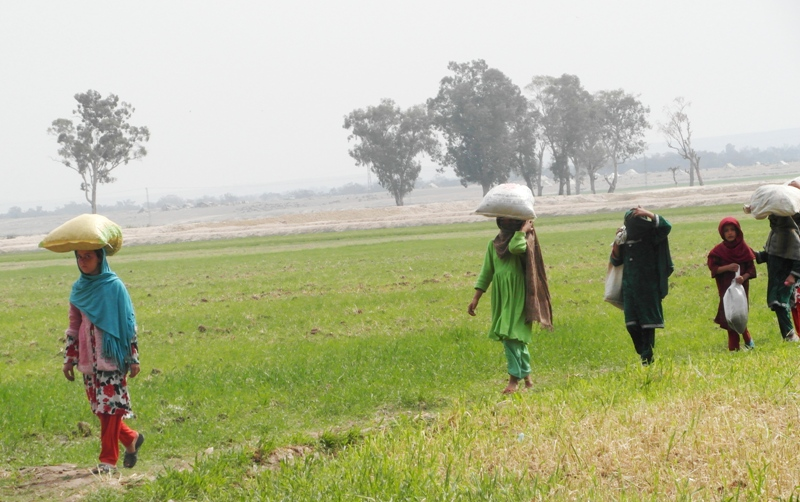 Children collecting leaves to use in making briquettes in A4T's Program in Nengarhar Province  (3-9-14)